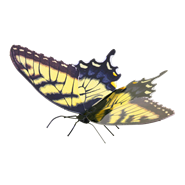 Picture of Tiger Swallowtail